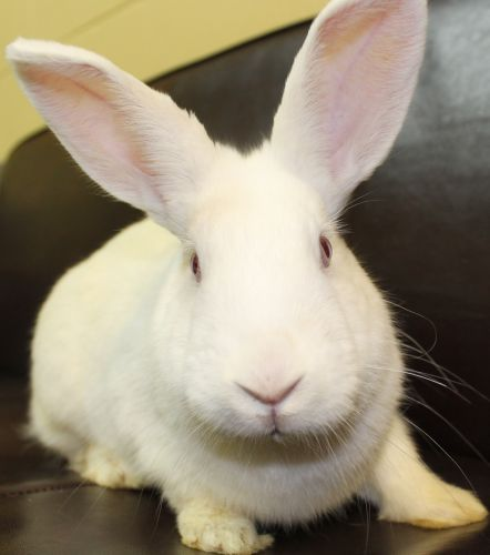 Candy Cane, one of the many, adoptable rabbits available at the Waukesha Humane Society.