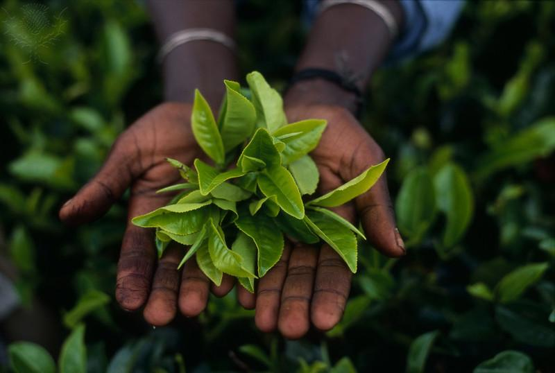Freshly+picked+tea+buds+from+the+fields+of+Sri+Lanka%3B+a+small+island+nation+in+the+Indian+ocean%2C+south+of+India.+The+first+step+in+the+tea+harvesting+process.